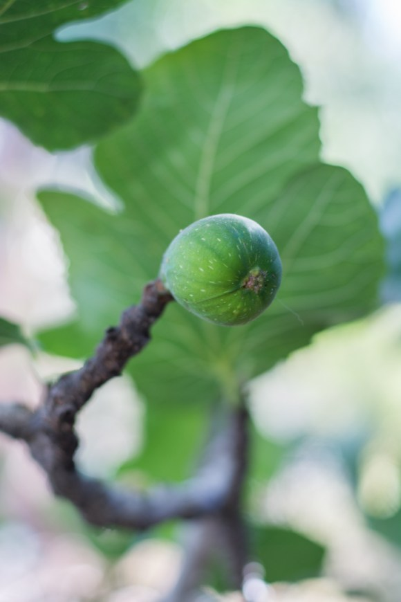 Agroforesterie à Cochabamba - une figue comme chez moi en France !