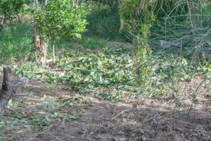 Agroforesterie à Cochabamba - semis d'un mélange de pois chiche et de blé recouvert ensuite de branchage