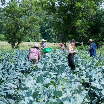 Little Seed Gardens, maraîchage et vente de paniers de légumes : Récolte du vendredi après-midi