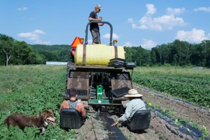 Little Seed Gardens, maraîchage et vente de paniers de légumes : session de plantation de concombre