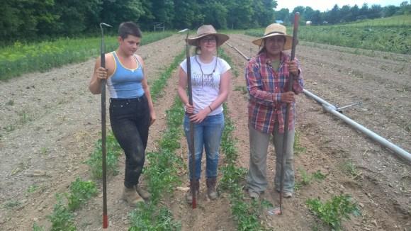 Little Seed Gardens, maraîchage et vente de paniers de légumes : Session de désherbage !