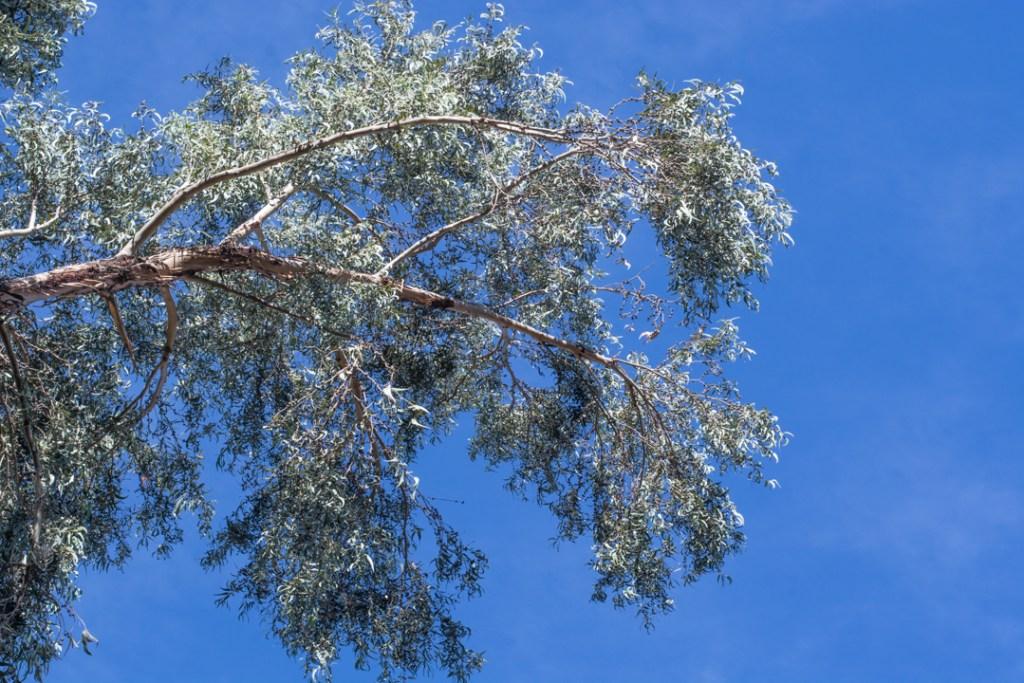 Un exemple d'arbre légumineux!