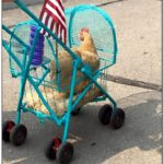 How To Make A Chicken Stroller