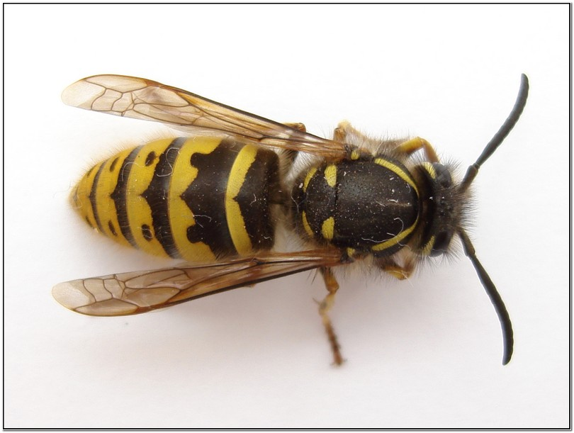German Yellow Jacket Removal