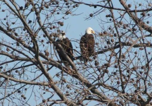 eagles-vertical