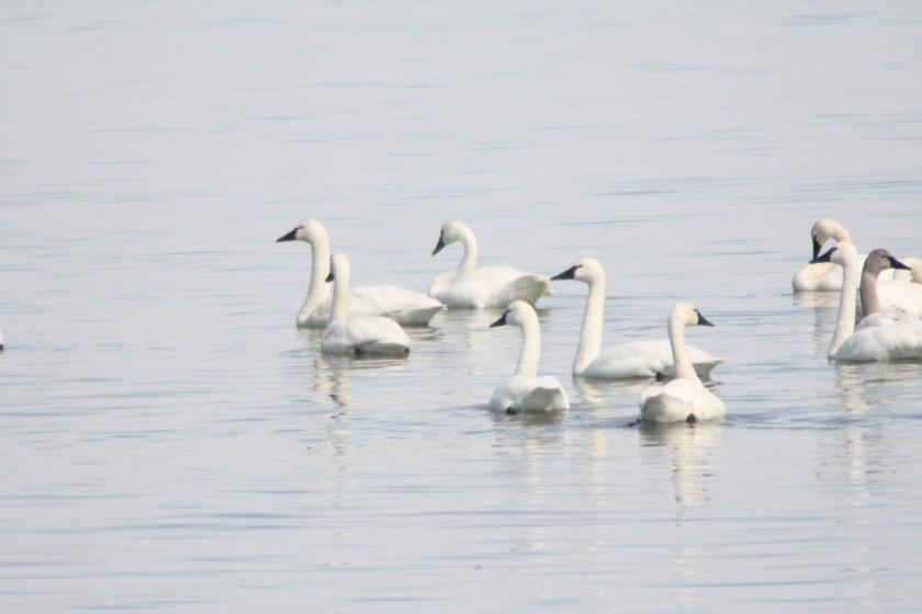 tundra-swans-march-2016