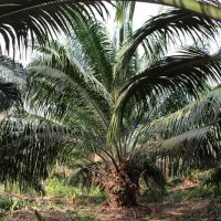 Under the oil palm trees