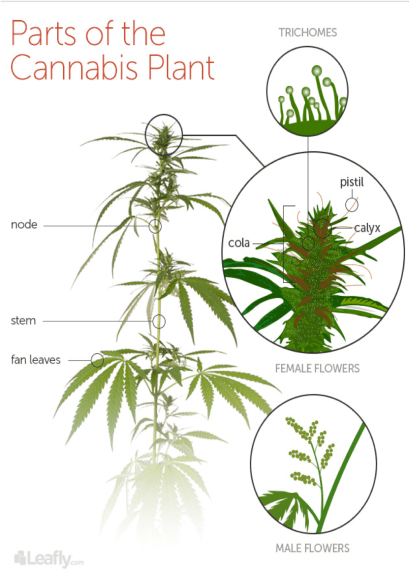 Cannabis Morphology | What is Cannabis?
