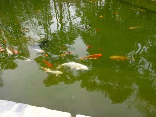Koi Pond-Duke Gardens