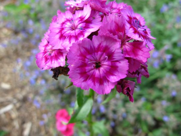 sweet william pbmGarden