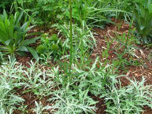 Dusty Miller, Verbena bonariensis (Tall Verbena)
