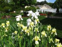 Japanese Iris and Iris germanica (Bearded iris)