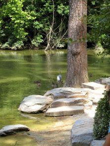 Blue Heron and Ducks