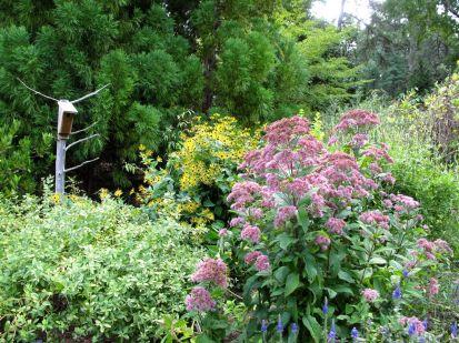 Eutrochium (Joe-Pye Weed) in Butterfly Garden