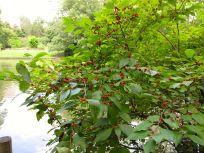 Viburnum? Full Of Red Berries