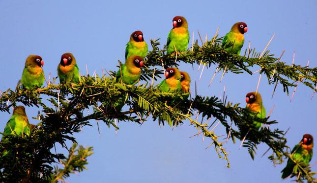 Indahnya Lovebird di habitat alamnya  Pasar Burung Online