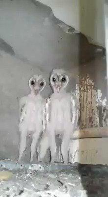 Creepy Baby Owls : creepy, White, Aliens
