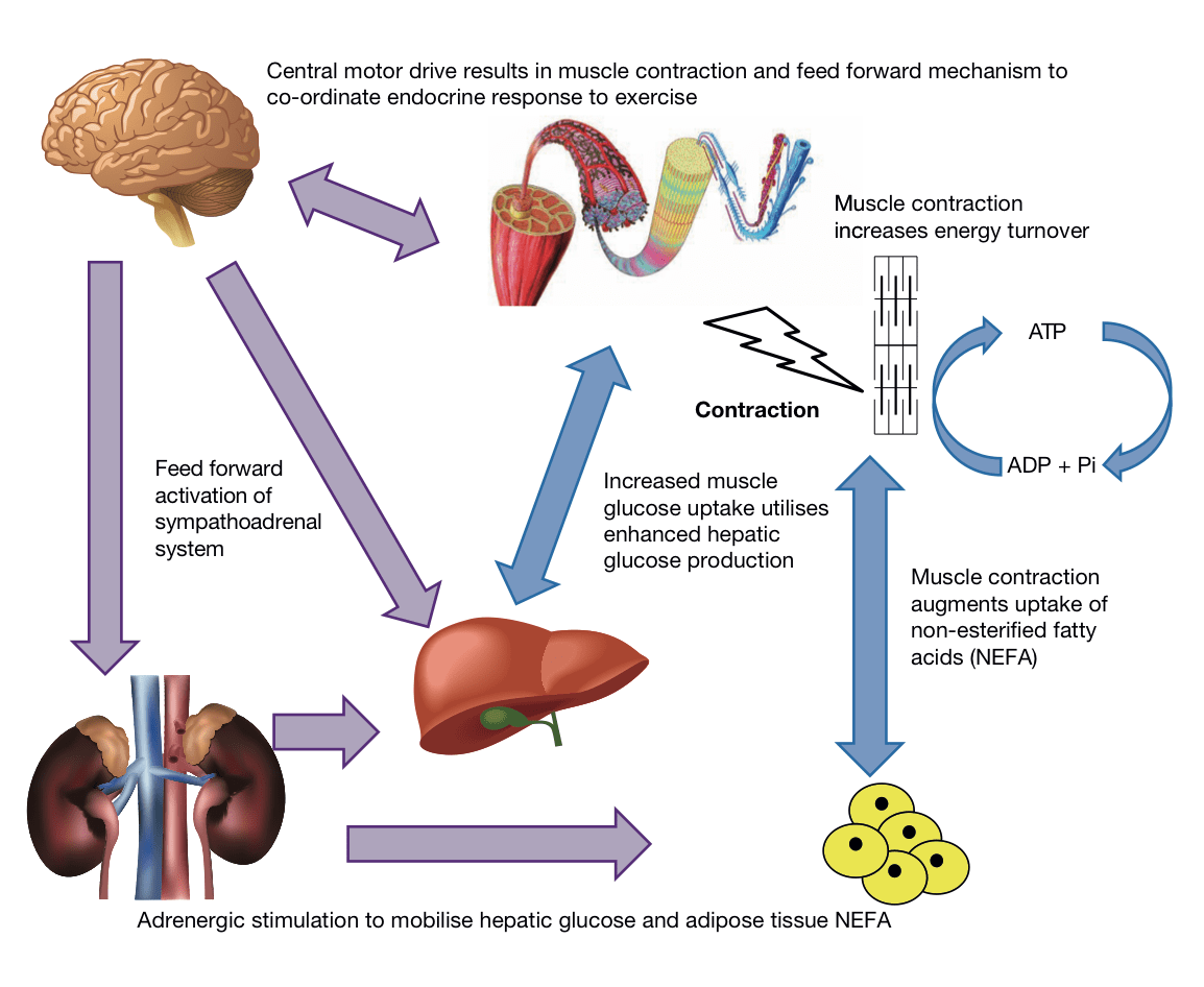 Mathew Piasecki On Twitter Metabolic And Endocrine