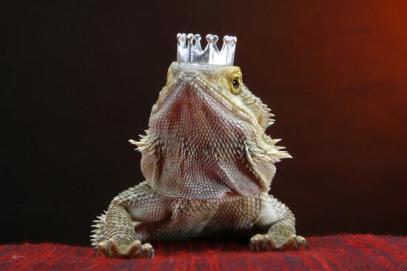 Resultado de imagen de lagartija con corona