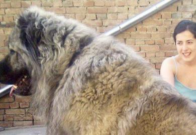 Caucasian Shepherd Dogs Bred For Hunting Russian Bears Go