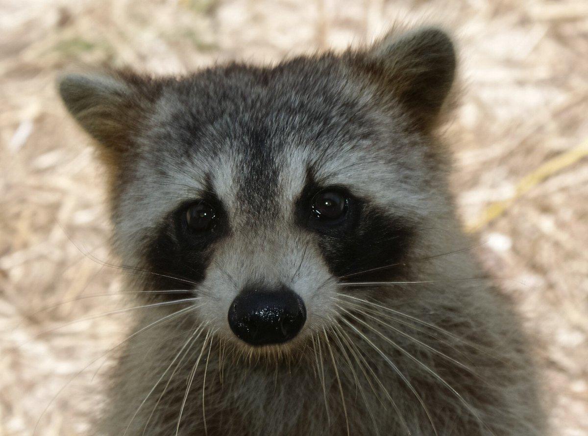 emergency raccoon on twitter