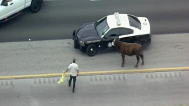 Holy cow! Bovine escapee found on the Florida Turnpike in South Florida: