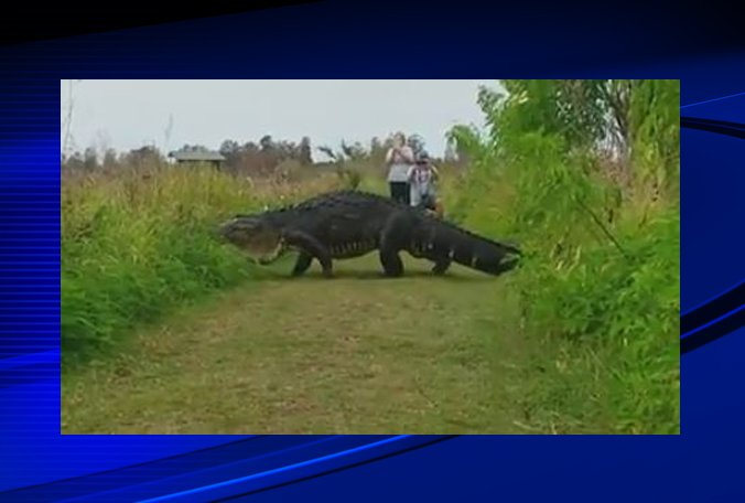 VIDEO: Giant alligator caught strolling through Polk nature center.