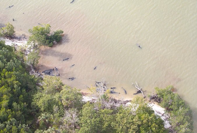 ICYMI: Dozens of false killer whales stranded in the Gulf have died.