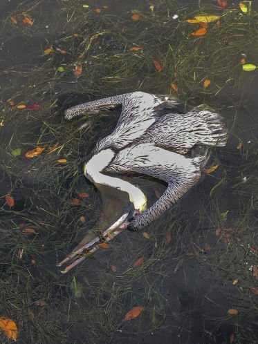 Pelicans continue to get sick and die in St. Petersburg, but why is a still a mystery