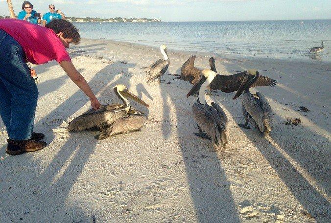 #Pinellas pelicans released following mysterious illness  @JoshRojasBN9 #goodnews