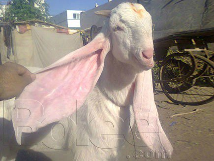 IMHIM on Twitter Gulabi goats are verydifferent