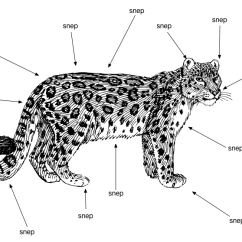 Snow Leopard Anatomy Diagram Beckett Oil Kieran On Twitter I Made A Very Important Http T Co Gab9ikqrot