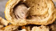 maggots rat hair mouse poop