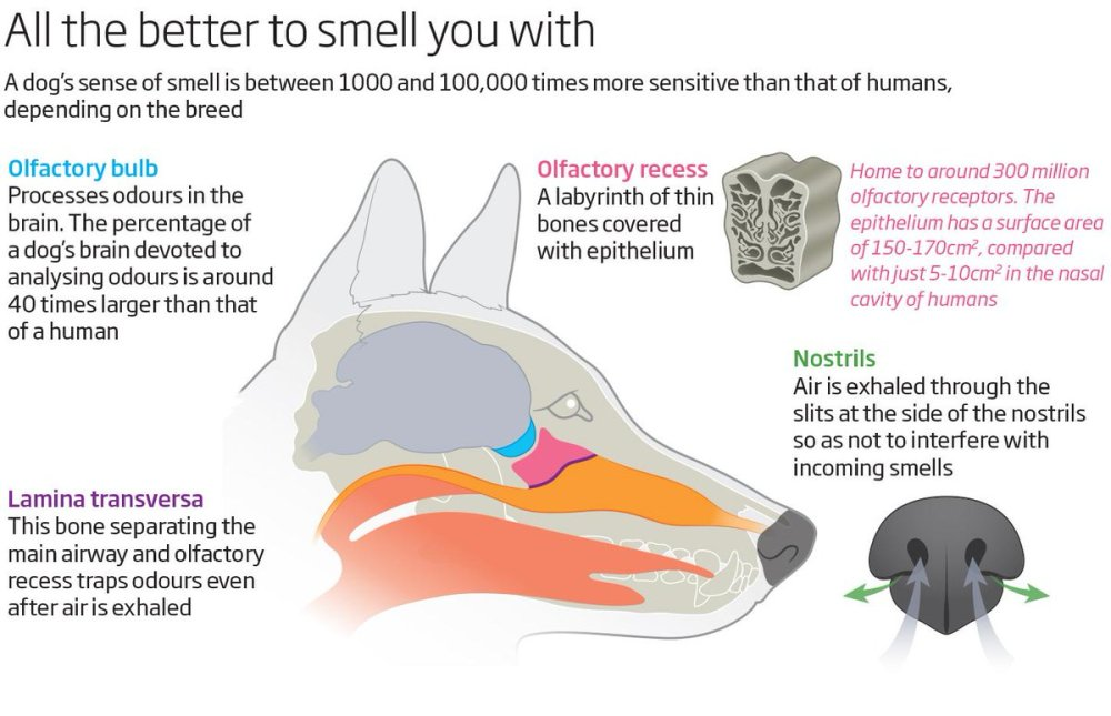 medium resolution of above diagram helps to illustrate how a dog s nose and the nostrils work
