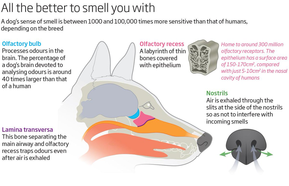 hight resolution of above diagram helps to illustrate how a dog s nose and the nostrils work