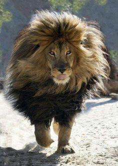 Le Lion De L Atlas : atlas, Athar, Twitter:, L'Atlas, Barbarie), Http://t.co/O7wcN262YM