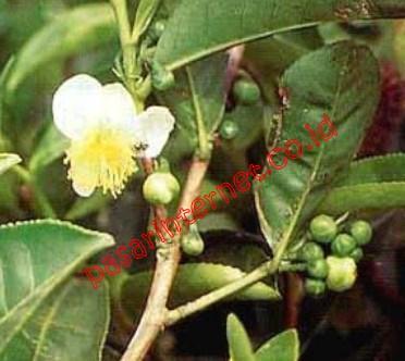 Suma (Pfaffia paniculata)