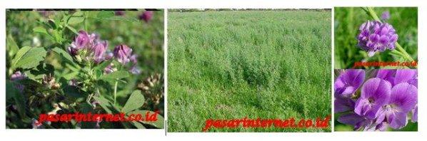 Kandungan Alfalfa Complek