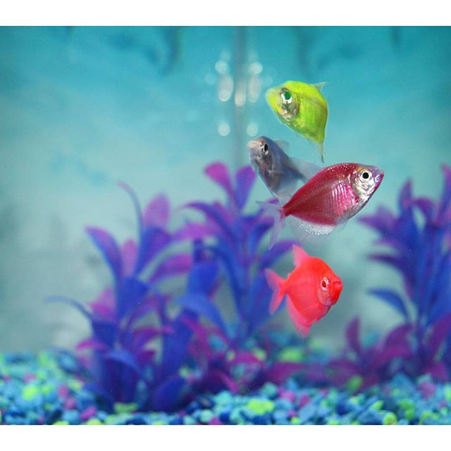 petsmart on twitter glofish