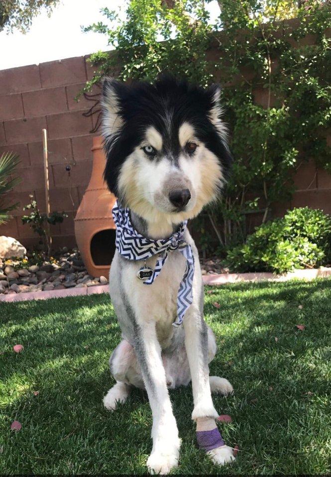 Alaskan Husky Haircut The Best Haircut Of 2018