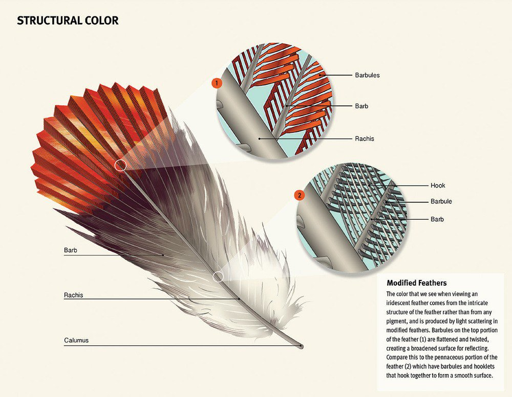 hummingbird diagram of color 1972 vw super beetle wiring jillian ditner on twitter zooming in to a feather