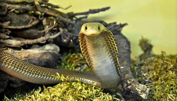 Hasil gambar untuk kobra filipina hd