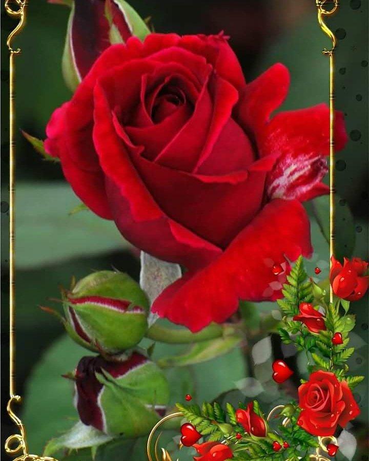 La Plus Belle Rose Du Monde : belle, monde, Altaf, Hassan, توییتر,