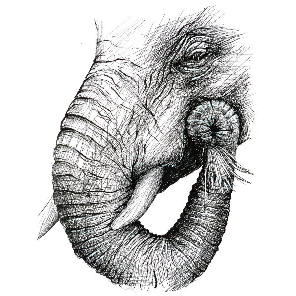 "Patricia Pedroso Twitter ""#elephant Face Pen Drawing #pen #elephantlovers #animal #"