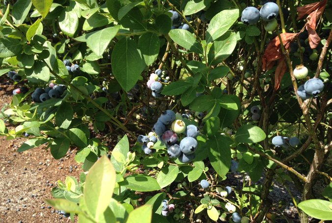 Haines City blueberry grower invites charities to pick hail-damaged crop for free