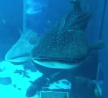 Atlanta Aquarium Whale Shark