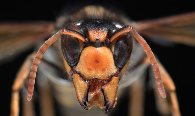 DEADLY Asian hornets ARRIVE in BRITAIN – with bites which kill within MINUTES: https://t.co/zlCHcJ4ZC9