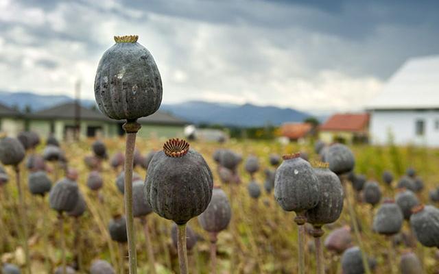 International News: Burmese Opium Farmers Protest Eradication.