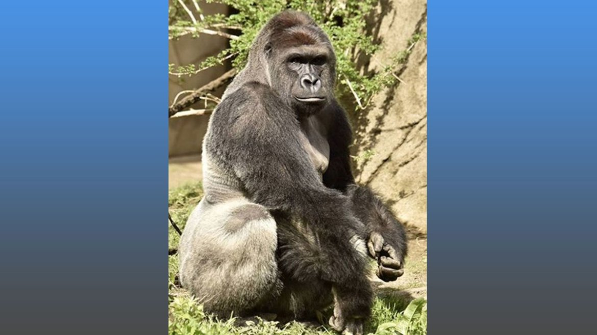 #Gorilla killed after 4-year-old falls into zoo enclosure