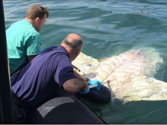 Huge dead shark found floating in Boston Harbor.